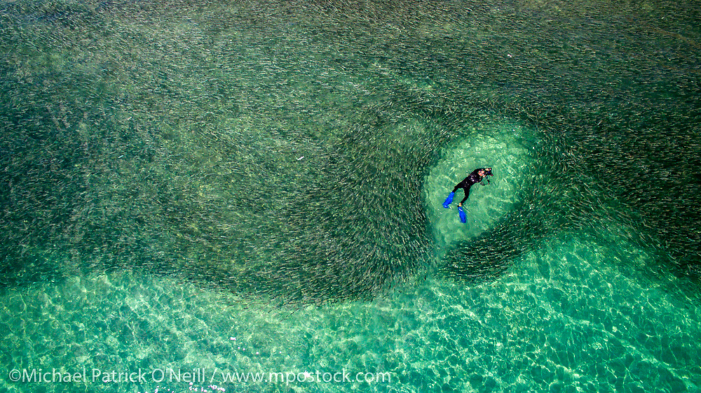 An underwater photographer swims with a massive school of Silver Mullet, Mugil curema, offshore Singer Island, Florida, United States during the 2016 annual mullet migration, which typically starts in late September and lasts until the beginning of November.