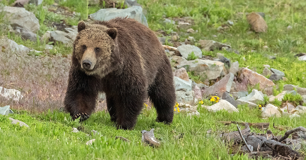 During the spring breeding season, male grizzlies will travel for miles in search of females. This large boar traveled far outside his territory, to the shores of Yellowstone Lake, in search of a mate.