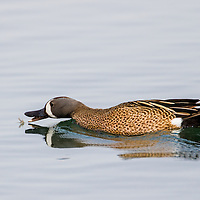 blue-winged teal in flight, dabbling duck, puddle duck