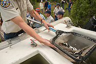 2014 AUG 08: Bear Creek Greenback Cutthroat Trout on Bear Creek outside of Colorado Springs, CO. Greenbacks tagged and released at Zimmerman Lake north of Fort Collins, CO in Poudre Canyon.