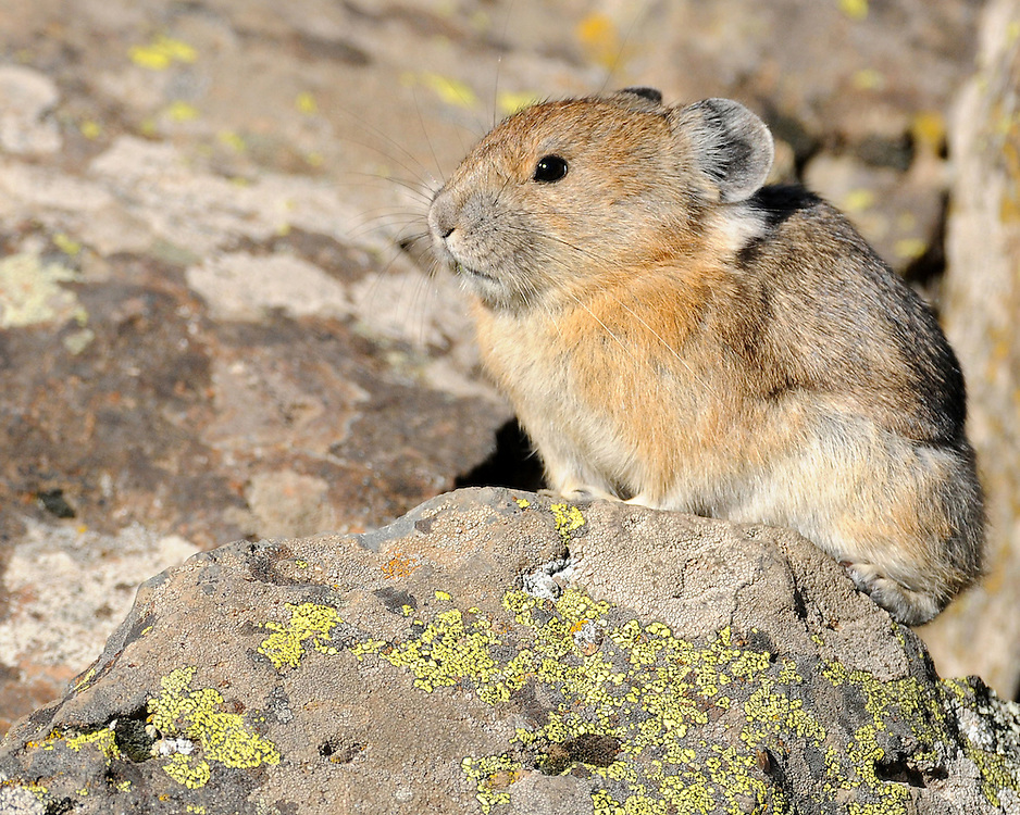 Global warming is increasing temperatures on the mountain top home of the pika, making its habitat inhospitable. The pika, a cousin of the rabbit, is uniquely suited to live in cold mountainous conditions and can die if forced to endure extended exposure to temperatures of 78 degrees or higher.