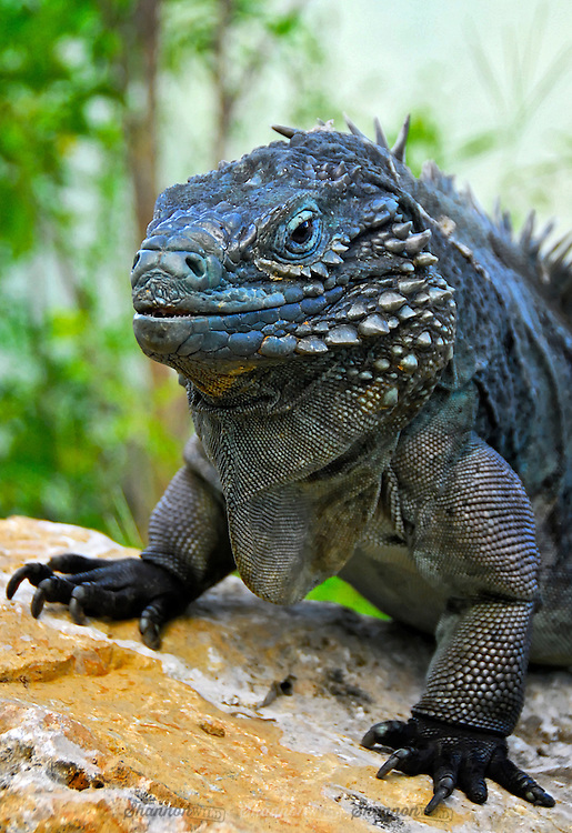 The Grand Cayman Blue Iguana Cyclura Lewisi Is A Critically Endangered Species Of Lizard