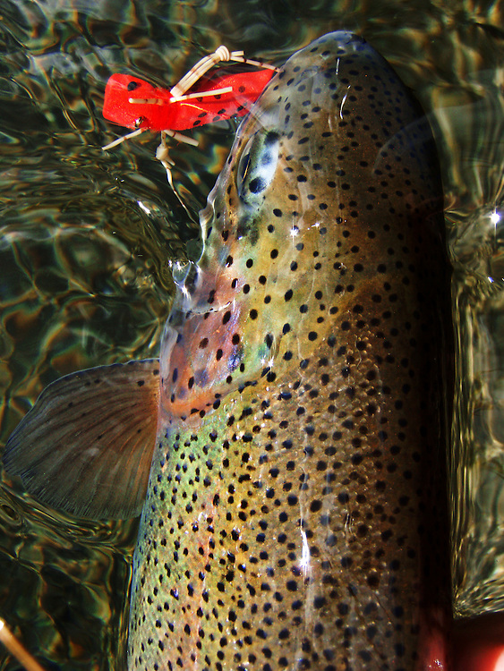 A rainbow trout in hand fooled to rise by red hopper .<br />