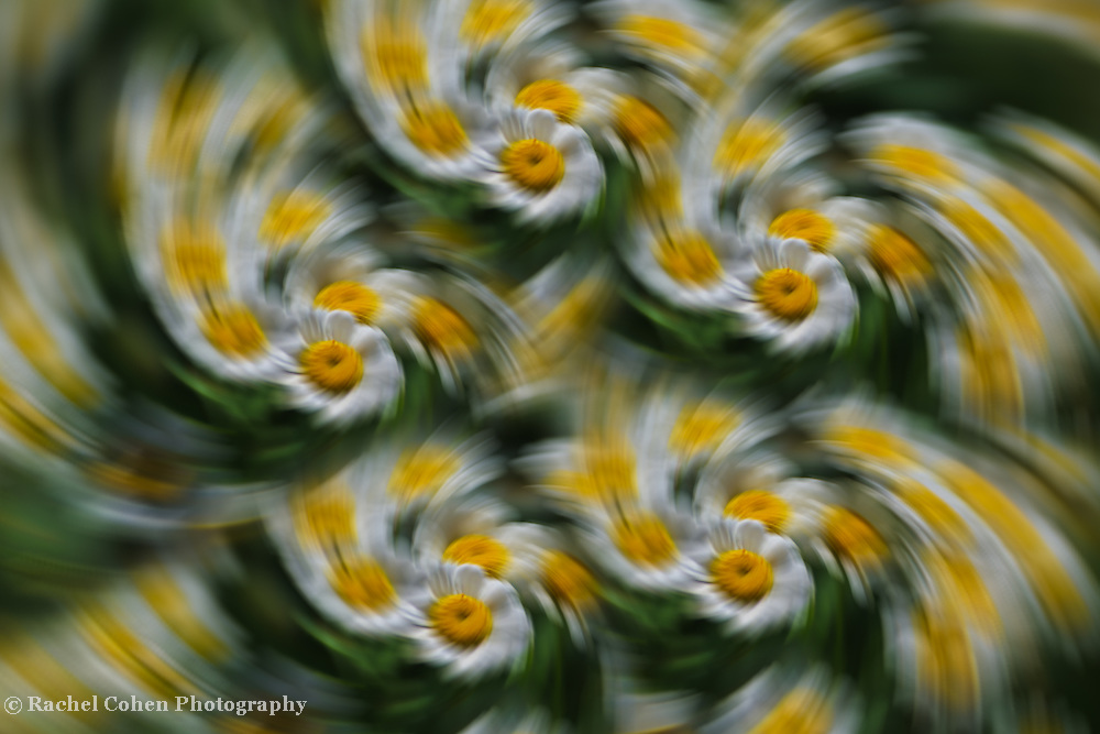 &quot;Daisy Fever&quot; <br />