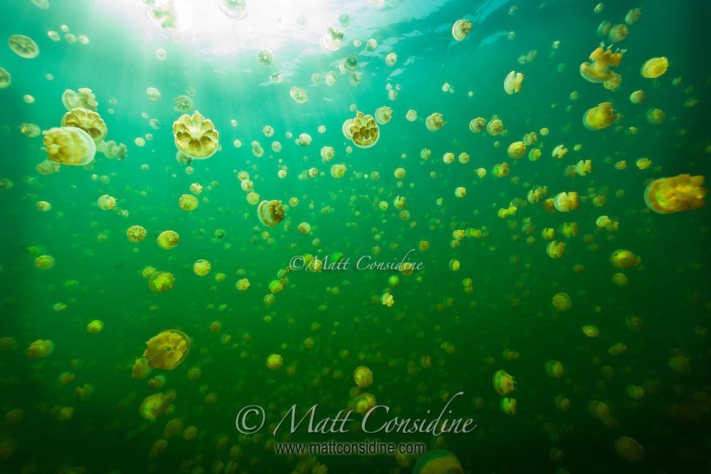 The stingless jellyfish of Palau swarm towards the sun in Jellyfish Lake, Palau Micronesia. (Photo by Matt Considine - Images of Asia Collection)