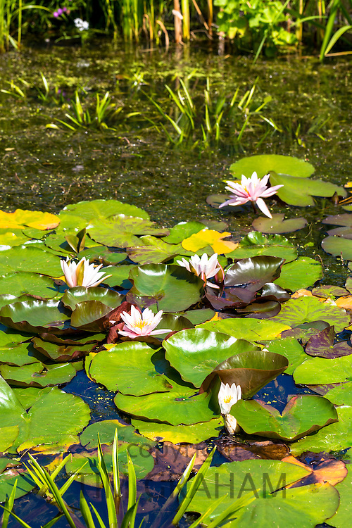 Water lily in bloom in pond in  garden, The Cotswolds, England, United Kingdom