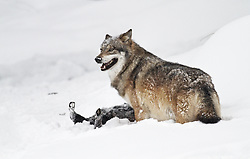 A wolf is standing over a dead boar in the snow in the wildlifepark of the Bavarian Forest.