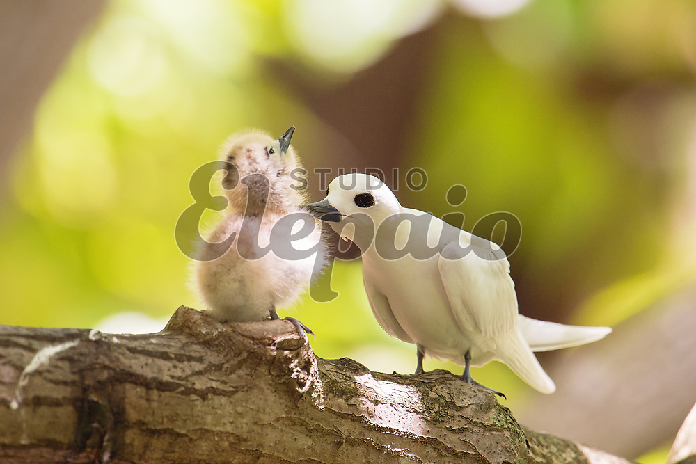 An adult white tern with a chick. The white tern (Gygis alba), or manu-o-Ku in Hawaiian, is the official bird of Honolulu. Photographed in Honolulu, Hawaii.