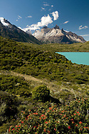 Fire Bush, Lago Pehoe and the Cuernos ('horns') del Paine, Torres del Paine national park, Patagonia, Chile