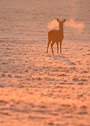 © Licensed to London News Pictures. 02/12/2012. Richmond, UK A deer stands on hard frosty ground. Deer, joggers and dog walkers wake up to a golden frosty morning in Richmond Park, Surrey, today 2nd December 2012. Photo credit : Stephen Simpson/LNP