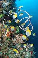 A school of Butterflyfish feeds along a gorgeous coral reef wall.<br /> <br /> Shot in Indonesia