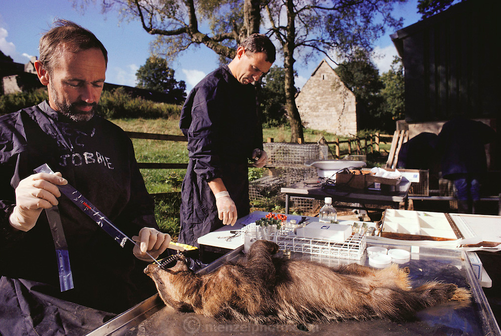 (1992) Nymsfield, England. Badger research center. Peter Mallinson takes sputum & blood samples studying the epidemiology of Tuberculosis in Badgers & how they spread it to cattle. Catheters are stuck down the badgers' throats, anesthetizing them, allowing researchers to take blood samples.  By taking sputum and blood samples that are then DNA fingerprinted, researchers are able to study the epidemiology of tuberculosis in badgers and how they spread it to cattle.  Animals were also weighed, ear tagged, and tattooed. DNA consists of two sugar- phosphate backbones, arranged in a double helix, linked by nucleotide bases. There are 4 types of base; adenine (A), cytosine (C), guanine (G) and thymine (T). Sequences of these bases make up genes, which encode an organism's genetic information. DNA Fingerprinting.