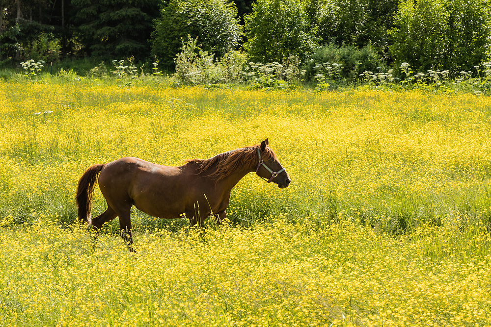 Horse walking in meadow of buttercup wildflowers in Hope in Southcentral Alaska. Summer. Afternoon.