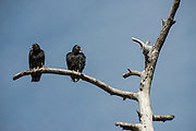 Black Vulture (Coragyps atratus)<br /> Little St Simon's Island, Barrier Islands, Georgia<br /> USA