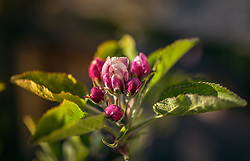 THEMENBILD - Tautropfen auf einer Apfelblüte im Morgenlicht, aufgenommen am 02. Mai 2019, Kaprun, Österreich // Dew drops on an apple blossom in the morning light on 2019/05/02, Kaprun, Austria. EXPA Pictures © 2019, PhotoCredit: EXPA/ Stefanie Oberhauser