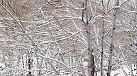 Winter Forest Scene, Mount Baldy, California