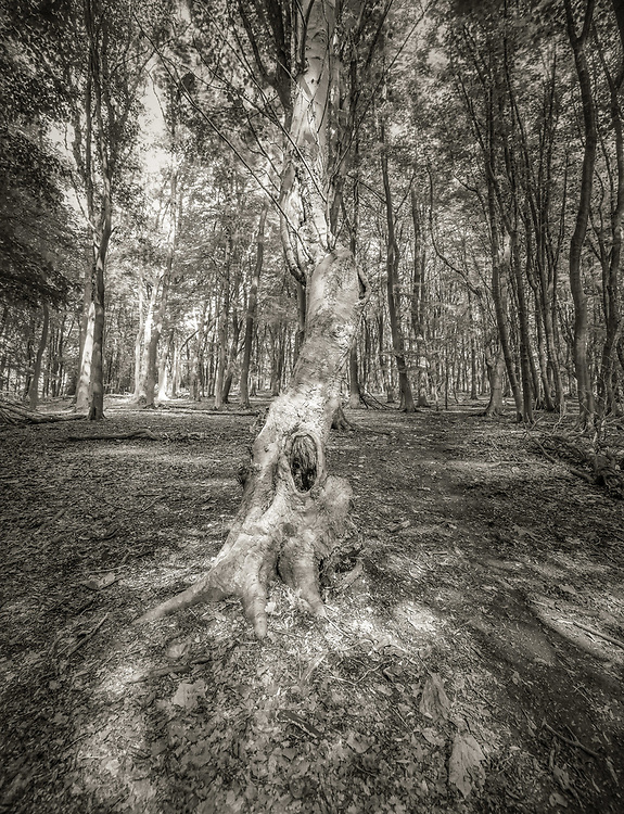 Remains of an old tree in a classic beech forest plantation in the Ashridge Forest.