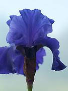 Iris 'Classic Navy' - border bearded Iris
