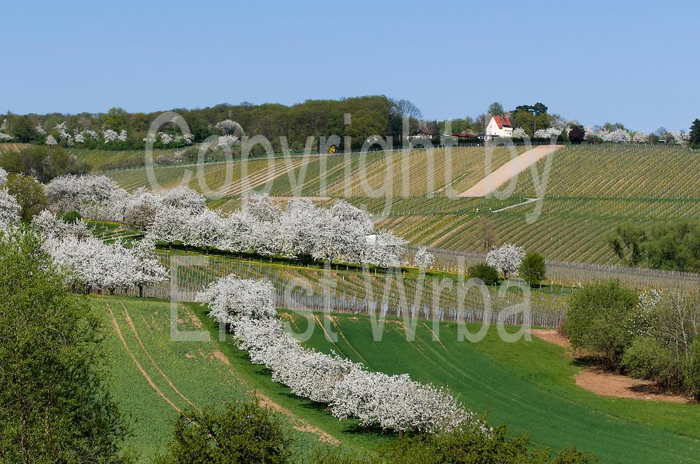Kirschblüte bei Frauenstein, Gasthaus Himmelreich, Wiesbaden, Hessen, Deutschland | flowering cherry trees near Frauenstein, Wiesbaden, Hesse, Germany