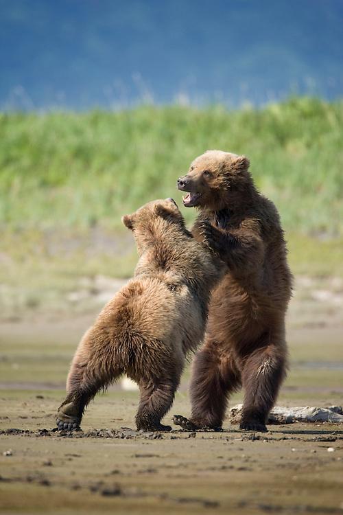 USA, Alaska, Katmai National Park, Brown bear (Ursus arctos) sparring in mud flats along Hallo Bay