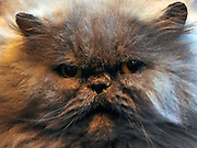 © Licensed to London News Pictures. 19/11/2011, Birmingham, UK.  A Blue Persian. The Supreme Cat Show held today, 19 November in the National Exhibition Centre, Birmingham.  The event is a highlight in the cat show calendar and is regarded as the feline equivalent of Crufts. Photo credit : Stephen Simpson/LNP