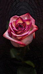 A beautiful rose to brighten everyone's day. I had a lot of fun processing this shot. Enjoy :)