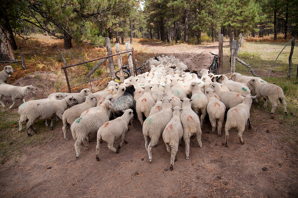 A herd of sheep pass through gate along the route.