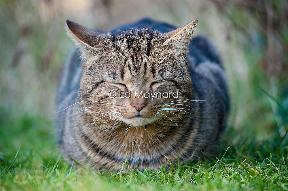 Feral male tabby cat dozing in the sunshine on a suburban garden lawn, England, United Kingdom.