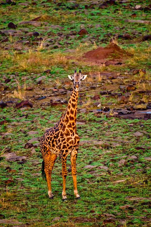 Aerial view of a giraffe, Masai Mara National Reserve, Kenya