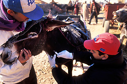 SPANA vet Dr Abdellah Jaaiber (right) tends to a donkey held by its owner at Tamaslouht souk, near Marrakech, Morocco.