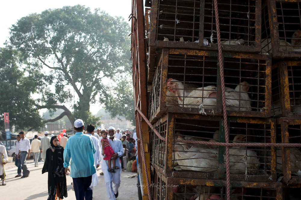 Chickens waiting to be loaded off a truck and to be sold and slaughtered for the festivities of Eid. The Muslim feast celebrating the end of the fasting period called Ramadan. Old Delhi, New Delhi, India