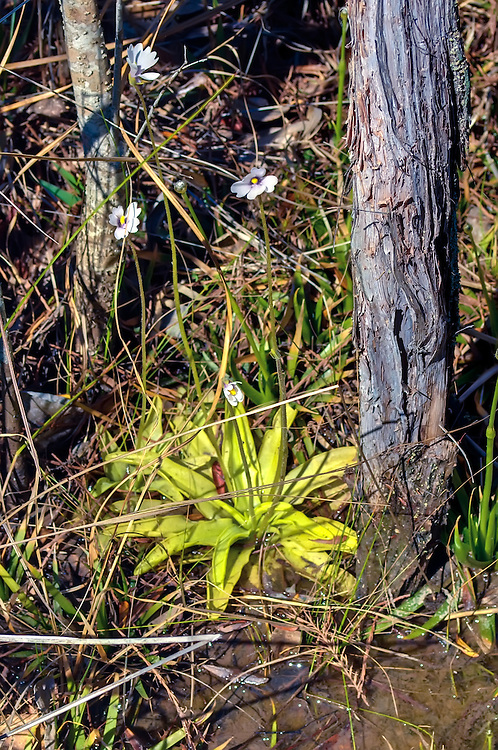 A tight cluster of panhandle butterworts growing among some small pond cypress trees in Liberty County, Florida.