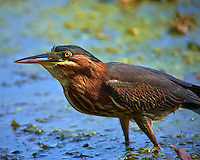 Green Heron Swallowing a Fish at a Pond in the Sourland Mountain Preserve. Image taken with a Nikon D4 and 300 mm f/2.8 VR len + TC-E III 20 teleconverter (ISO 220, 600 mm, f/5.6, 1/640 sec).