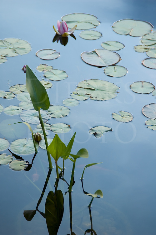 Lilly pads in blue water with stems and a single flower in the background.