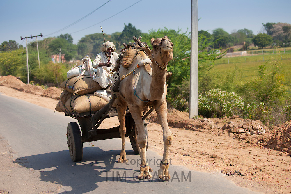 Indian man drives camel cart in Sawai Madhopur in Rajasthan, Northern India