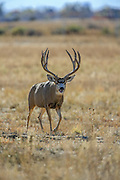 Trophy Mule Deer Buck following Doe