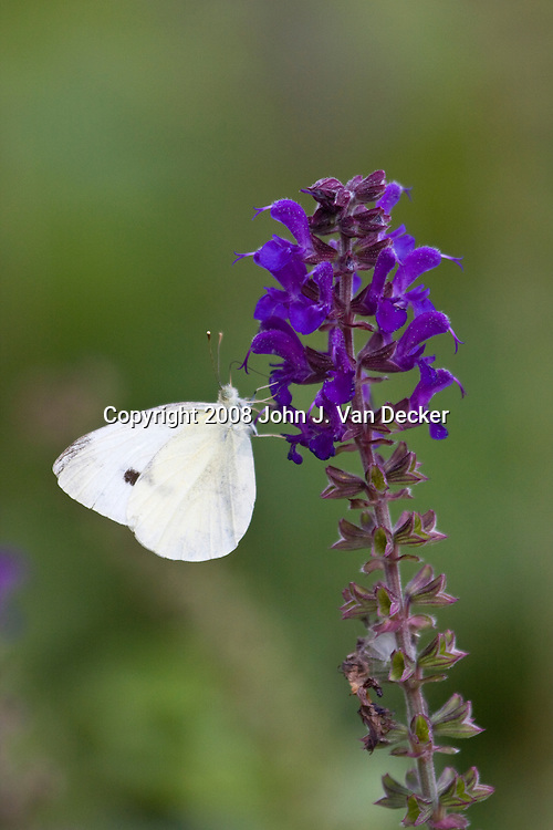 Cabbage White Butterfly, Pieris rapae, feeding on purple flower