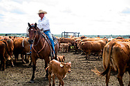 Rancher, John L. Moore, quarter horse, Simon, ropes and drags calves to fire, cattle branding, Lazy TL Ranch, north of Miles City, Montana