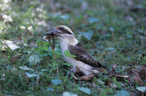 Laughing Kookaburra, (Dacelo novaeguineae) Southern and eastern Australia.