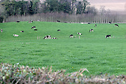 Cattle Grazing,