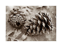 Pinecones and Gambel Oak leaves Zion National Park Utah USA