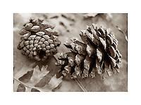 Pinecones and Gambel Oak leaves Zion National Park Utah USA