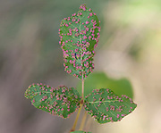 Poison Ivy Leaf Gall Mite; Aculops rhois; PA, Philadelphia, Morris Arboretum