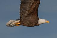 Close profile view of bald eagle in flight, sky background, © 2005 David A. Ponton