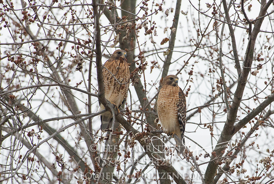 Two Red-shouldered hawks perch in a tree together.