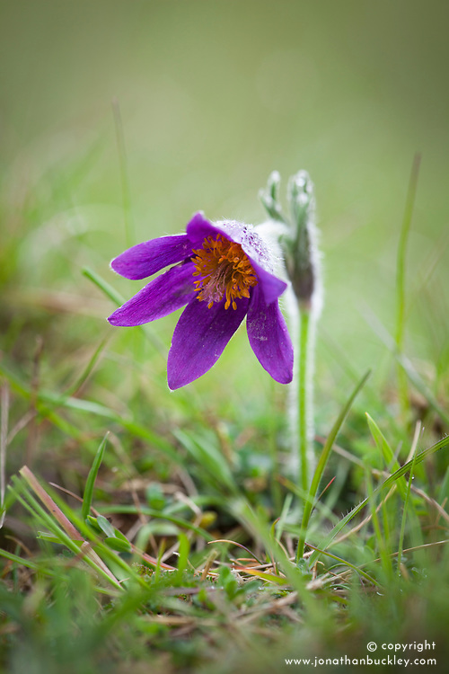 Pasque Flower growing wild in grass at Barnsley Warren, Gloucestershire. Pulsatilla vulgaris