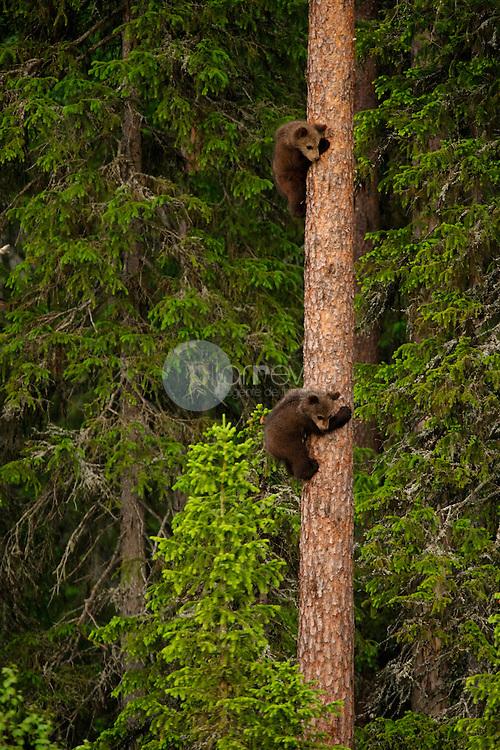 Cachoros de Oso Pardo, Finlandia ©Carles Zamorano / PILAR REVILLA