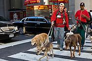 USA. New York -dogs walker on fifth avenue, street life people    Manhattan / promeneur de chiens sur cinquieme avenue, gens passants scenes de rue