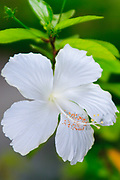 Dainty white or Swan lake hibiscus (hibiscus rosa-sinensis)- malaysia