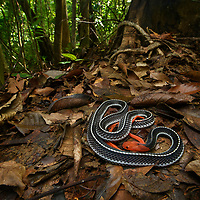 The bold coloration of the Red-headed Krait (Bungarus flaviceps) is a warning to would-be predators of the highly potent venom it possesses. This large elapid feeds primarily on other reptiles including lizards and snakes. Sarawak, Malaysia.